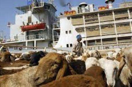 الرياض تسمح بانسياب صادر الماشية السودانية إلى المملكة