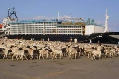 مصدرو الماشية : إغلاق الشرق ألحق خسائر فادحة بالقطاع